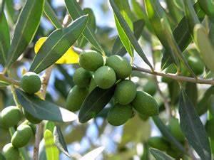 Olivenbaum Im Wohnzimmer überwintern : olivenbaum lbaum olea europaea pflege und berwintern ~ Markanthonyermac.com Haus und Dekorationen