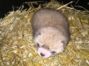Cincinnati Zoo red panda baby: The zoo welcomes a new baby ...