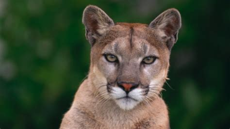Ghost cougar of Nova Scotia still a mystery to Kejimkujik researcher - Nova Scotia - CBC News