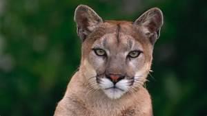 Ghost Cougar Of Nova Scotia Still A Mystery To Kejimkujik