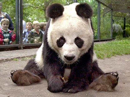 Zoologischer Garten Berlin Panda by Pandab 228 R Bao Bao Im Zoo Gestorben Berlin De