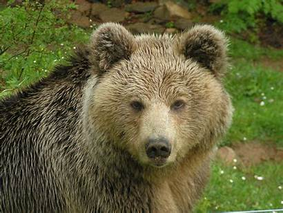 Bear Greece Arcturos Brown Saving
