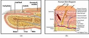 Human Finger Structure   A  Cross