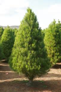 What Do Pine Trees Look Like