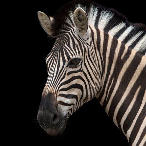 National Geographic Animals Zebras