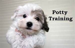 havanese puppies how to potty train a havanese puppy With trouble potty training dog