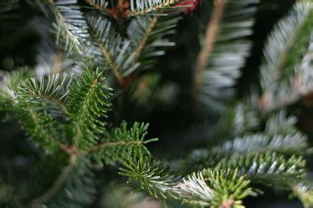 fresh christmas tree care living on a dime