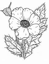 Coloring Poppy Wildflower Poppies Drawing Template Remembrance Printable Sketch Tattoo Leaf Colorluna Getdrawings Luna sketch template