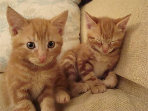 Ginger Kitten For Sale Reading Berkshire Pets4homes