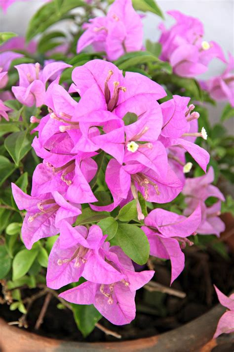 Winterizing A Bougainvillea Plant - How To Care For ...