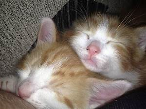 2 Ginger & White fluffy Male Kittens | Bushey ...