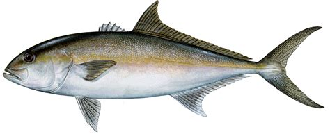Greater Amberjack Louisiana Lagniappe