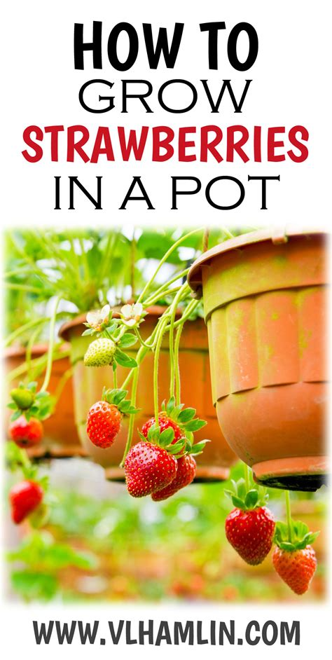 how to grow strawberries how to grow strawberries in a pot food life design