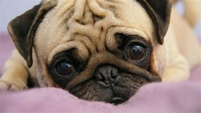 Pug Wallpapers Puppies Space