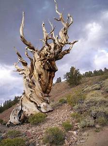 Traveling to California The Methuselah Tree The Oldest ...
