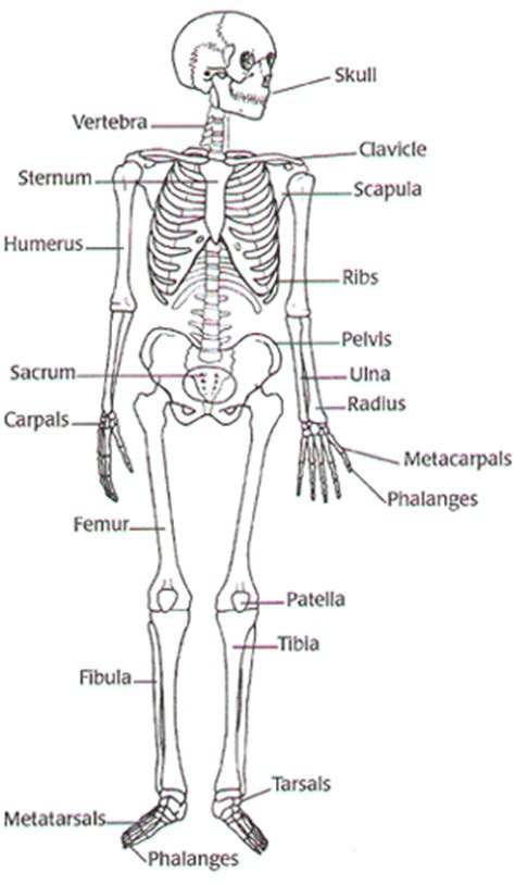 Basic Bone Diagram by Hudgens 2011 Digestive System Diagram Worksheet