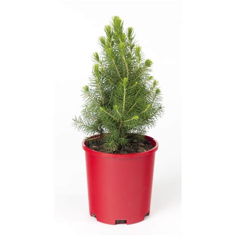 140mm picea glauca christmas star bunnings warehouse