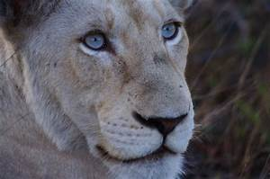 Assignment #3 - Unity and Variety Lioness with blue eyes ...