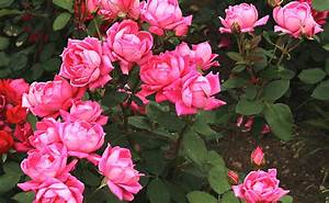 Comment Tailler Les Rosiers : les rosiers buissons pour cr er des massifs types ~ Nature-et-papiers.com Idées de Décoration