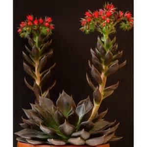 fragrant flowers echeveria 39 black prince 39 avant gardens nursery design
