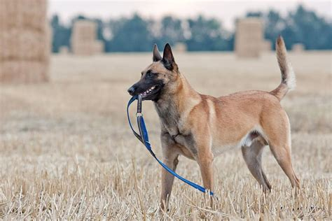 belgian malinois dog breed profile