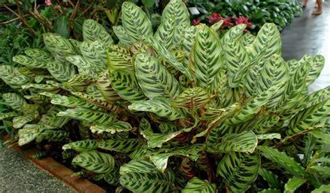 jual benih bibit tanaman hias daun calathea murah