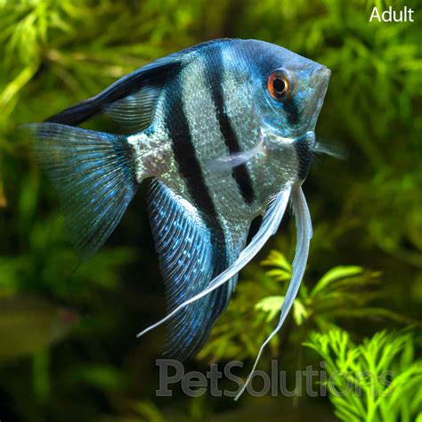 freshwater aquarium fish pictures of freshwater angelfish gt live aquarium fish gt freshwater fish plants