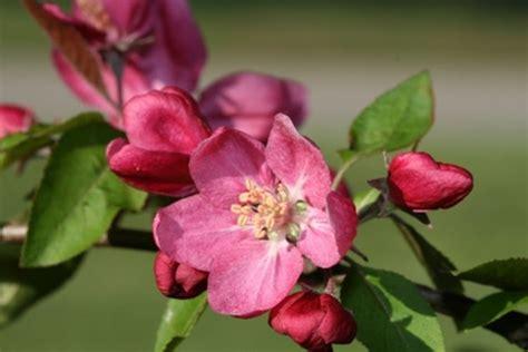 how to prune crabapple tree tiffany bennett