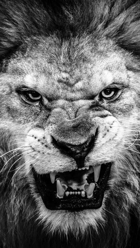black  white lion wallpaper  images