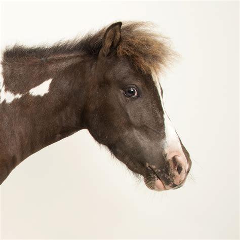 horse horses animals zebras national geographic mammals animalia facts rights