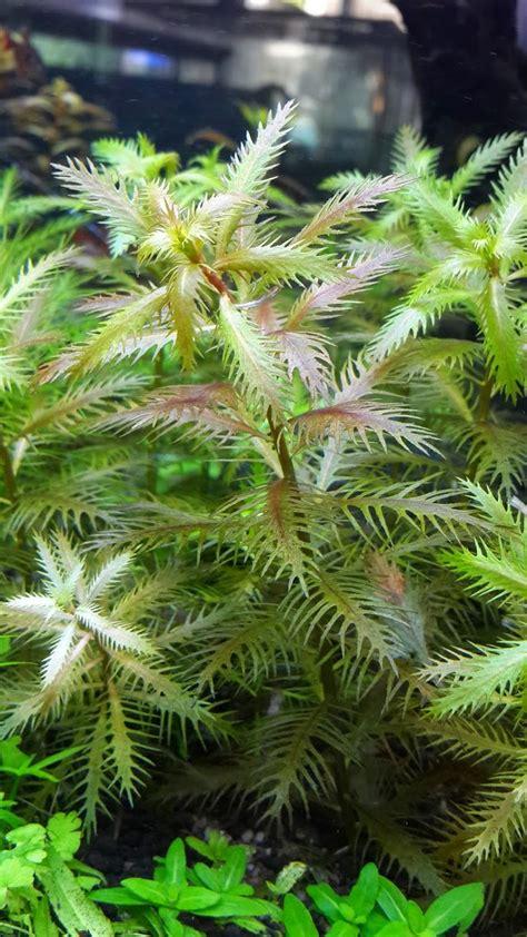 images aquatic plants pinterest
