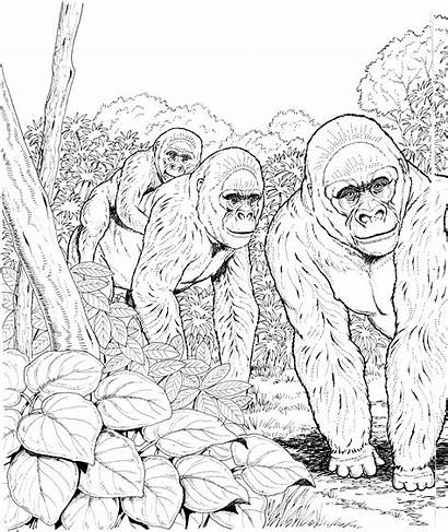 Coloring Gorillas Gorilla Pages Forest Apes Mountain