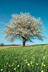 Rosa Blühender Baum Im Frühling : peter wey bl hender baum im fr hling auf gr ner wiese ~ Lizthompson.info Haus und Dekorationen