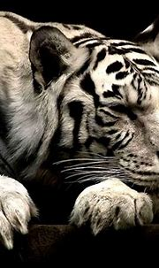 White Siberian Tiger Wallpaper Hd | Wallpapers Gallery