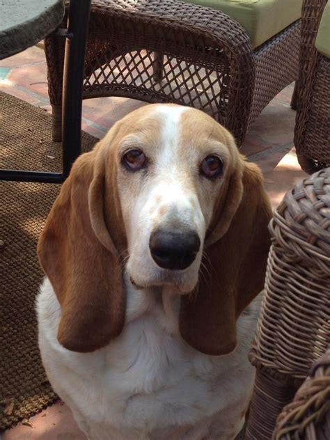 happy birthday annie basset hounds basset hound dog forums