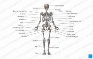 Diagram    Pictures  Skeletal System  Anatomy