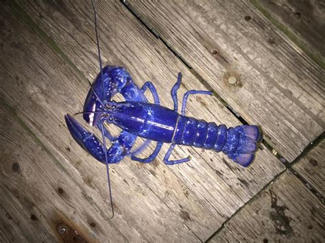beverly lobsterman catches rare blue lobster  boston