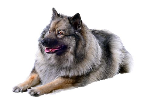 dogs that dont shed keeshond keeshond