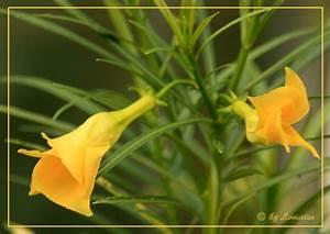 Oleander Hat Gelbe Blätter : tropischer oleander thevetia peruviana treffpunkt ~ Lizthompson.info Haus und Dekorationen