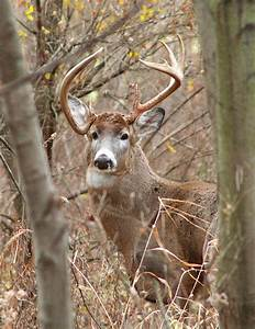 WHITE TAIL DEER FACTS | WHITE TAIL DEER FACTS