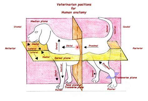 dorsal position wwwbilderbestecom