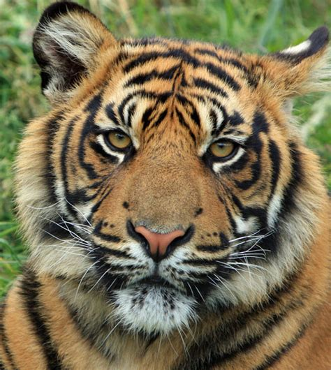 Tiger Photo by Tiger Cub Portrait Free Stock Photo Domain Pictures