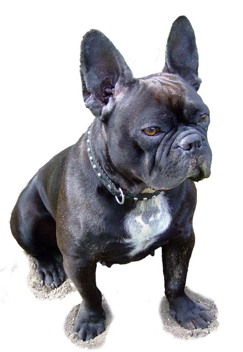 french bulldog nora white background  stock photo