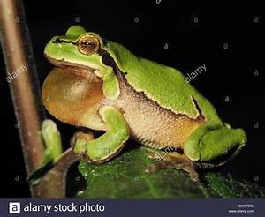 European tree frog Hyla arborea croak at night green ...