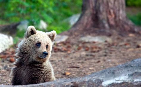 There Are Eight Species Of Bears