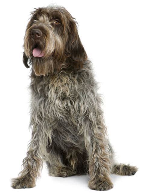 wirehaired pointing griffon non shedding wirehaired pointing griffon information facts pictures