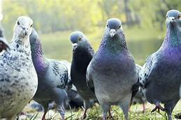 A City in Spain Plans to Exile 5,000 Pigeons. Will They Stay Away?…