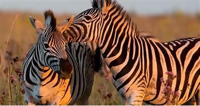 4k Zebra Animals Ultra Wallpapers Wallpaperaccess Xyz