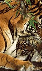 Interesting facts about tigers | Just Fun Facts