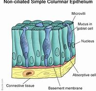 Hd wallpapers ciliated epithelial cell diagram 3836 hd wallpapers ciliated epithelial cell diagram ccuart Gallery